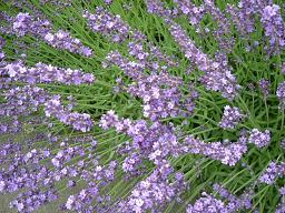 ラベンダー開花