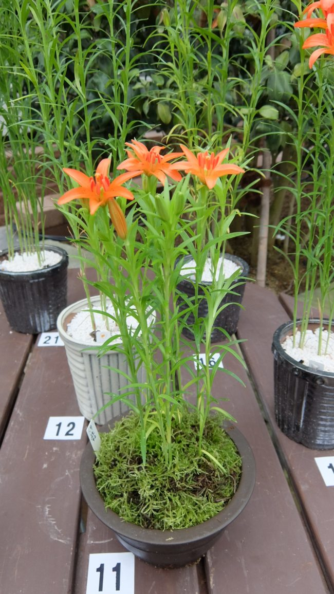 ミチノクヒメユリ交配鉢