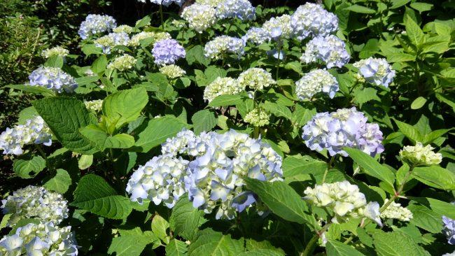 日本庭園紫陽花