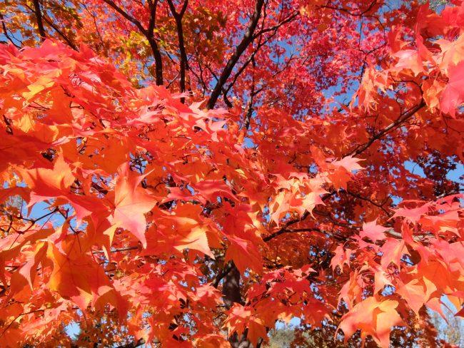 世界の百合広場の紅葉