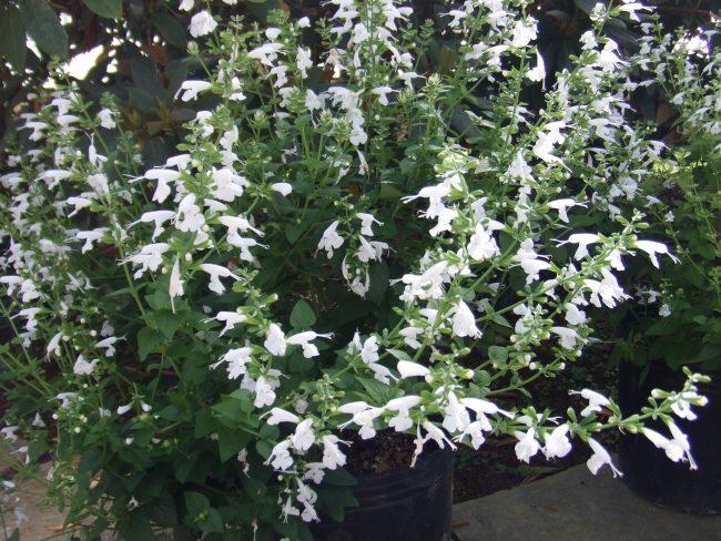 ベニバナ サルビア(白花品種)