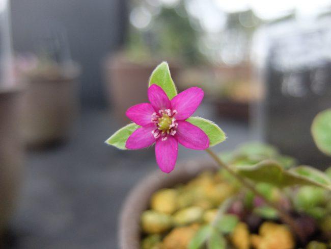 紅花(雪割草)