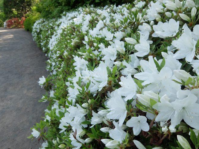 リュウキュウツツジ(日本庭園)