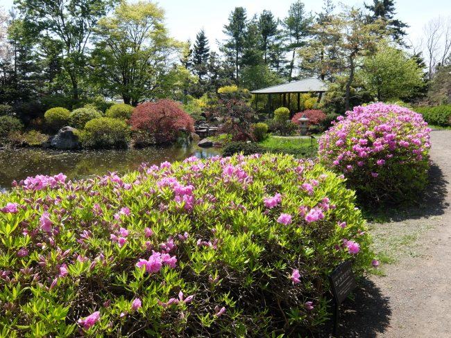 ヨドガワツツジ(日本庭園内)