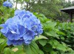 日本庭園アジサイ