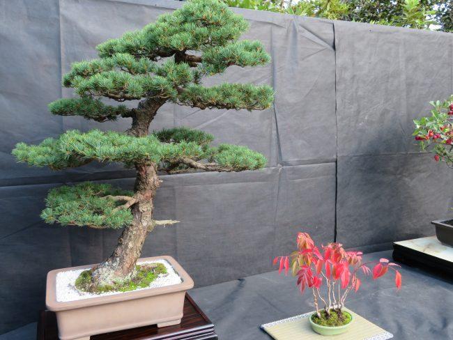 五葉松と櫨の鉢