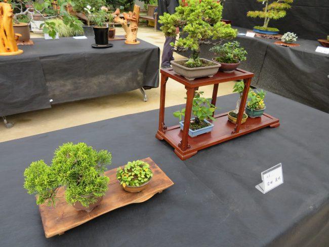 真柏、舞鶴草、蝦夷松など複数の鉢の展示
