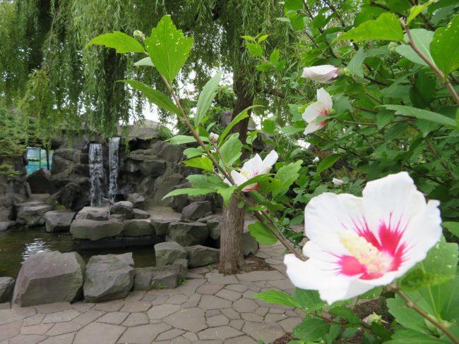 中国庭園のムクゲ