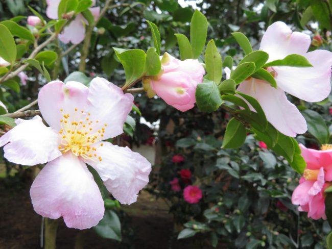 サザンカ系 '肥後桜'