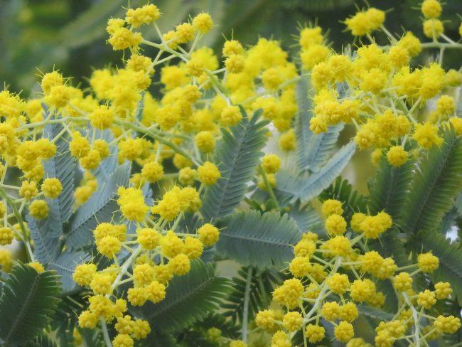 ミモザの花の様子