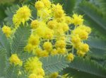 可愛らしいふわふわのミモザの花