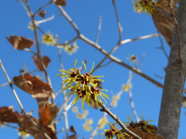 シナマンサクの花
