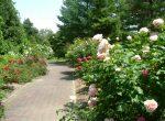 美しく剪定されたローズウォークのバラ
