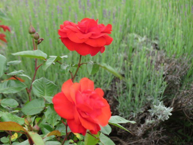 モニュメント広場の赤いバラ