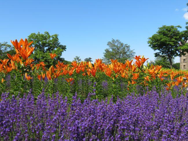 ラベンダーとオレンジのユリが鮮やかに広がる星形花壇