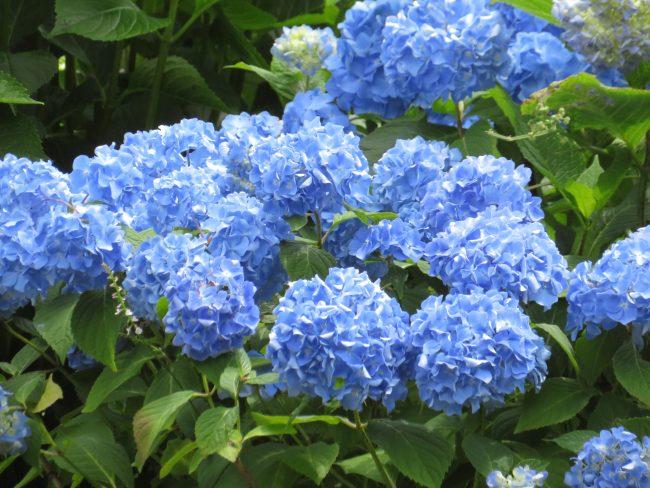 日本庭園の青いアジサイ
