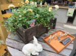 ミニバラ苗とウサギの置物