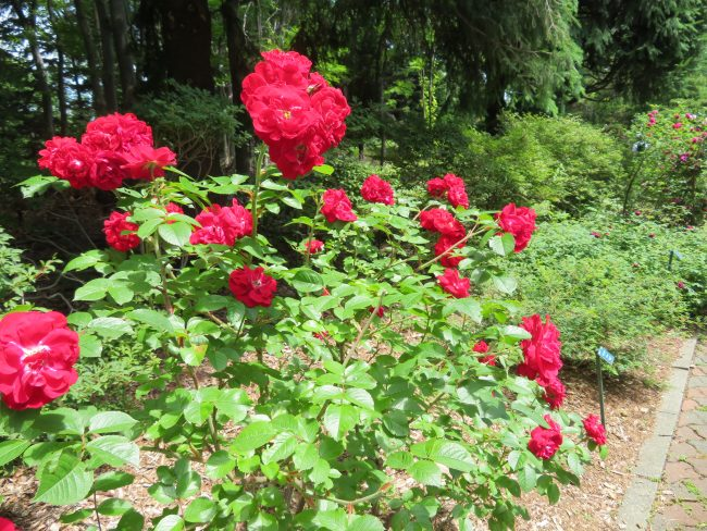 ローズウォークのバラ(赤)