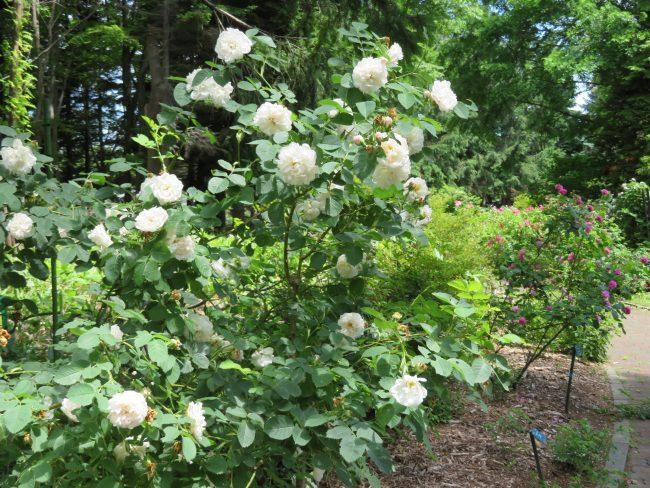 ローズウォークのバラ(白)