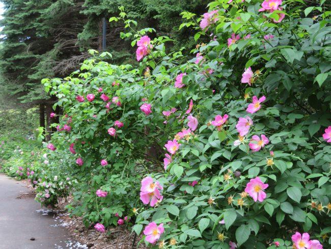 ローズウォークのバラ(ピンク)