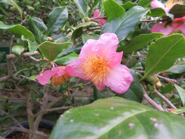 温室ではツバキ開花