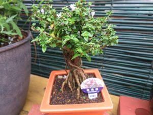 紅鳥花の盆栽