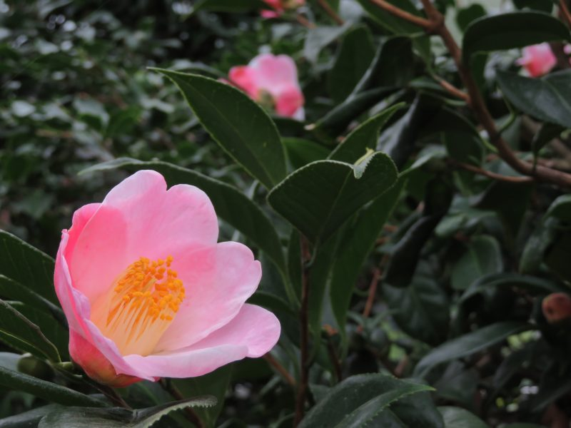 温室ではツバキが開花中