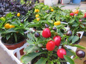 赤い実をつけたトウガラシ