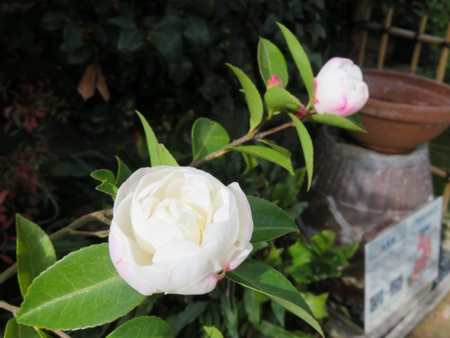 サザンカ'朝倉'
