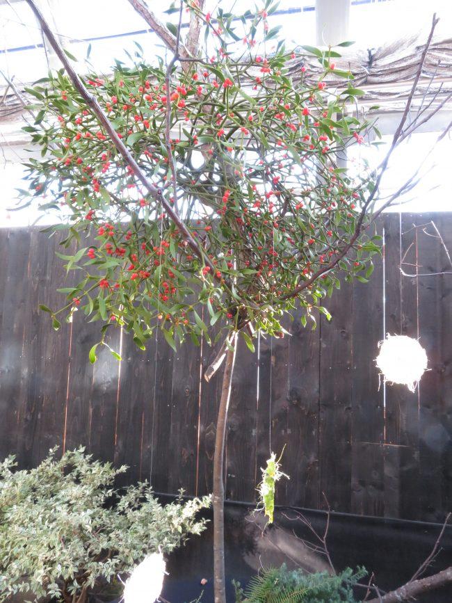 青々としたヤドリギの葉や赤い実