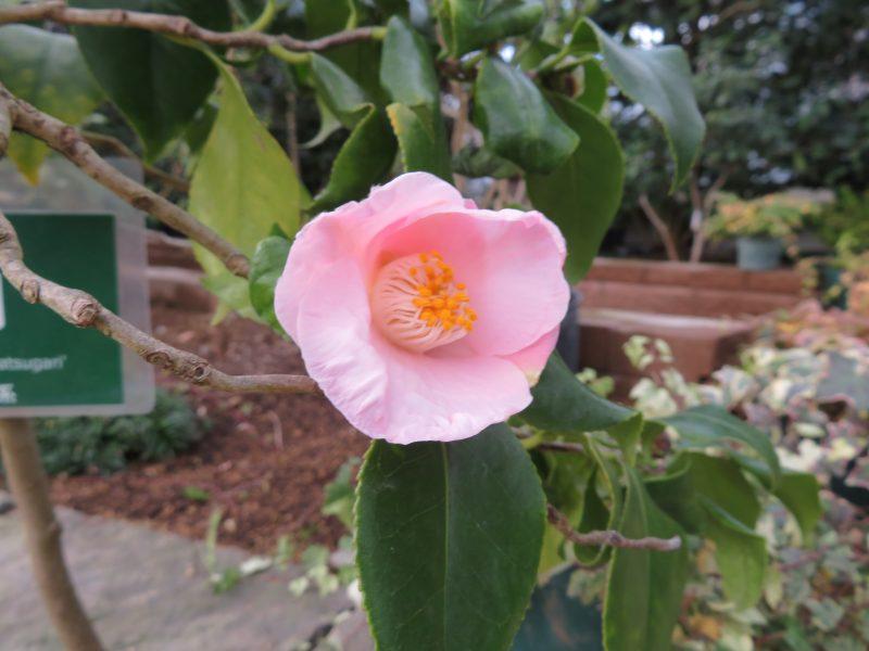 冬の温室も開花がすすんでいます