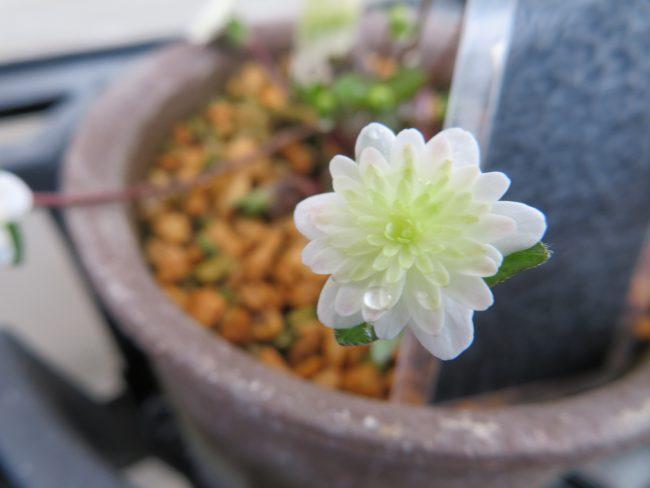 雪割草 '翠苑'