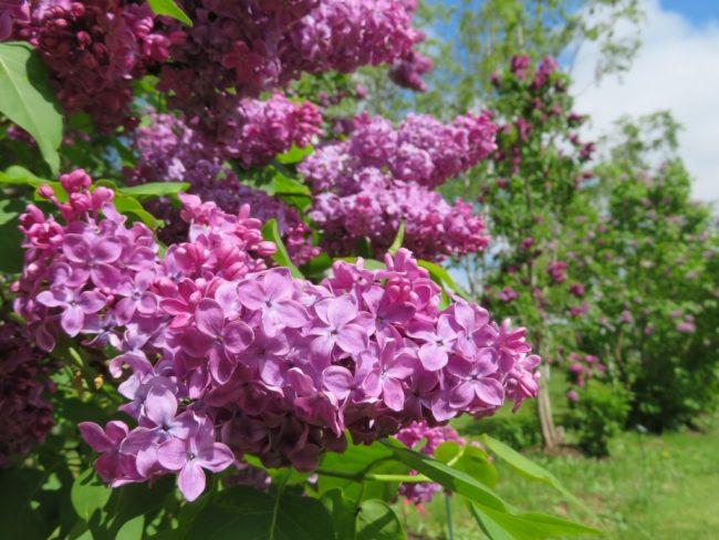 フレンチライラック'ラム フォン ホーステンステイン'紫一重