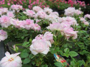 うすピンク色のミニバラ