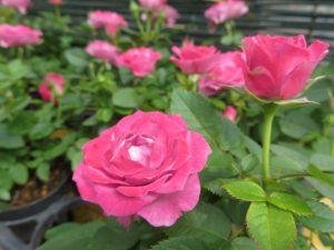 ピンク色のミニバラ
