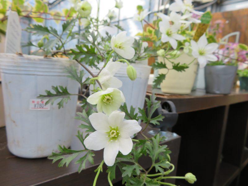 ガーデンショップの春の花苗