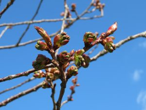 '関山'の芽の様子