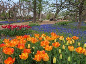 早咲きのチューリップ開花中