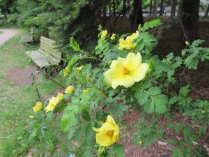 木陰に黄色の花色が鮮やかなバラ、カナリーバード