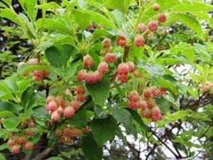 温室前の園路で開花中のサラサドウダン
