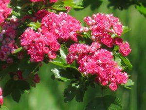 八重の紅色の花色が鮮やかなアカバナサンザシ