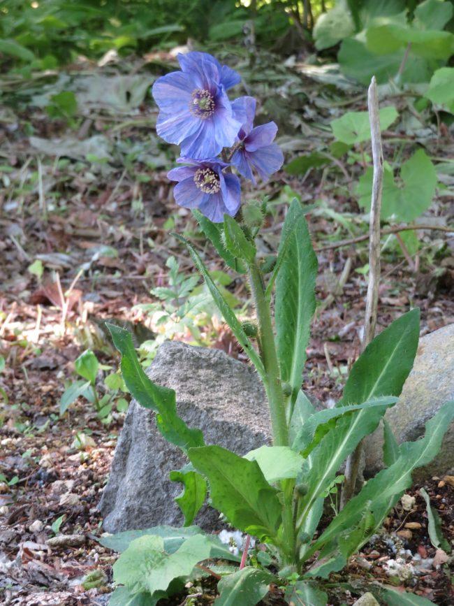木陰の花壇で咲くメコノプシス・ホリドゥラ