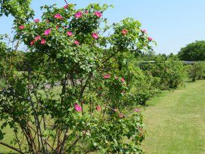 多くの花が咲き始めているバラの生垣
