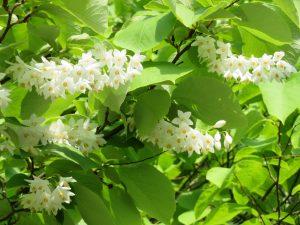 ポートランドガーデン入口付近で開花しているハクウンボク