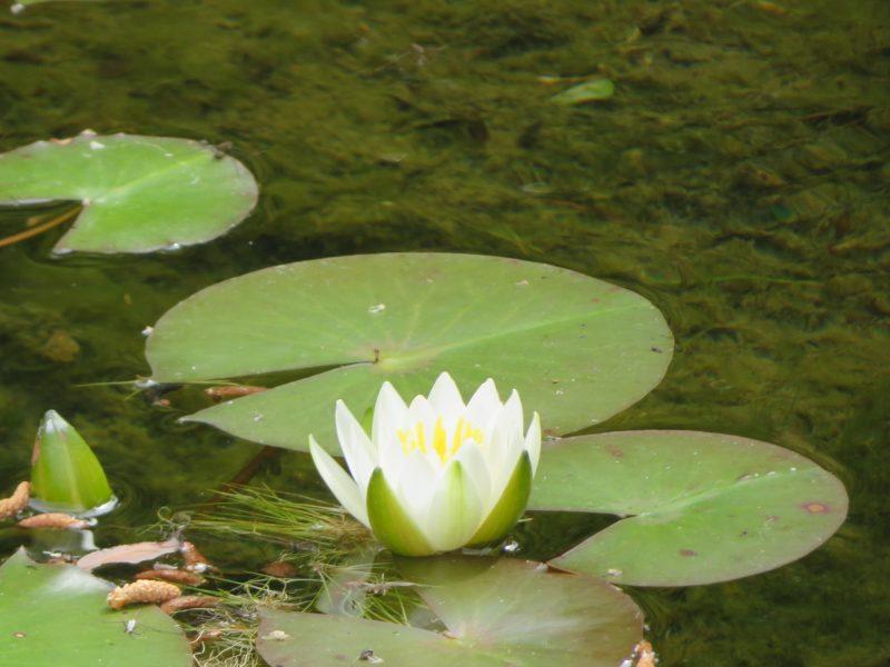 開花情報(コマユリ、世界の庭園、ヒースガーデンのシュラブローズなど)