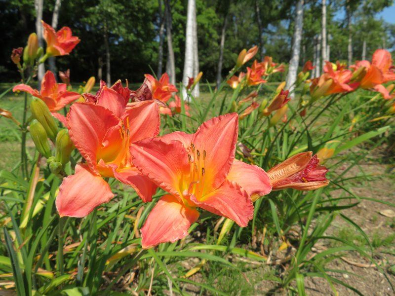 涼を求めて(アジサイ、ヘメロカリスなどの開花もお知らせします)