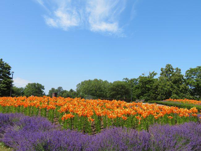 鮮やかなオレンジ色のユリが咲き誇る星形花壇