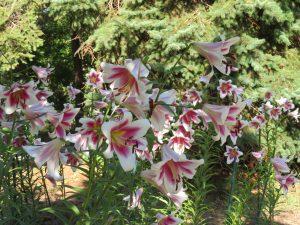 見頃のユリ花壇
