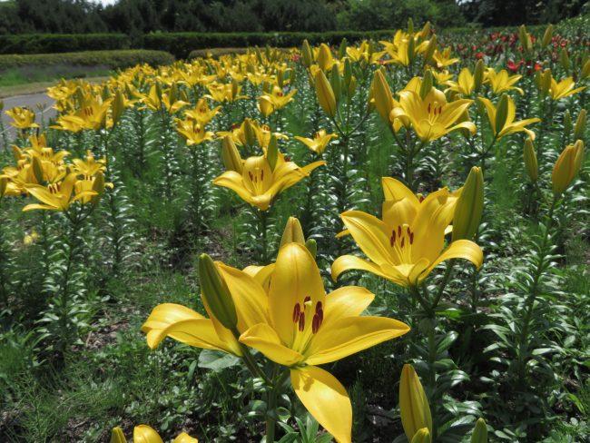 黄色の花色鮮やかな'ドノバン'