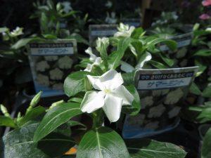 白い花色のフリル咲きのニチニチソウ